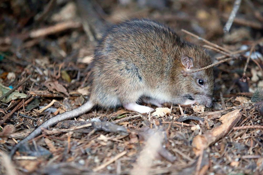 Ratón Hantavirus