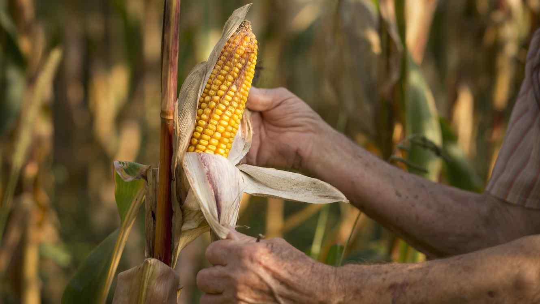 Córdoba ocupa el  octavo puesto a nivel mundial en la producción de maíz